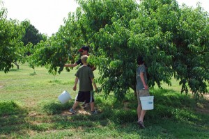 kids picking peaches, peach recipes, peach orchard
