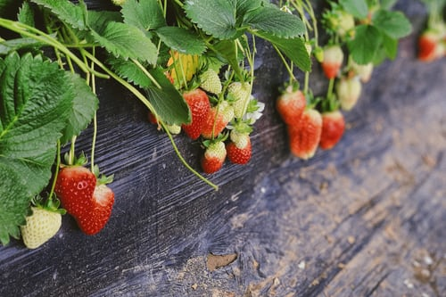 Strawberry Plants - Grow your Own Strawberries